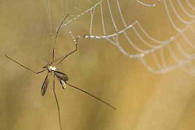 Photograph - Crane Fly Lament by Robert Potts