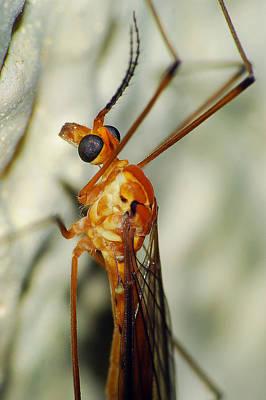 Photograph - Crane Fly by Larah McElroy