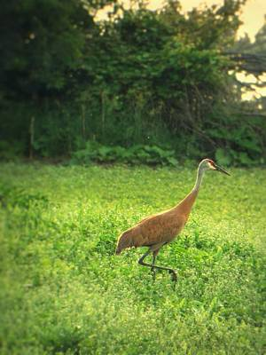Photograph - Crane In Clover by Gilbert Photography And Art