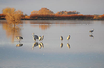 Photograph - Cranes At The Bosque 1 by Diana Douglass