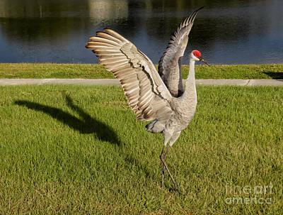 Sandhill Crane Photograph - Cranes Beauty Pose by Zina Stromberg