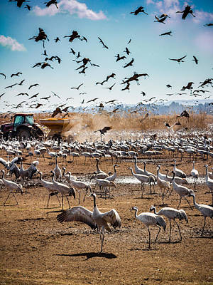 Photograph - Cranes Feeding by Mark Perelmuter