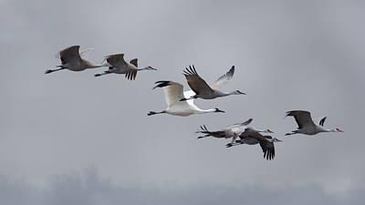 Cranes Flying Art Print