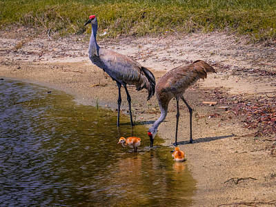 Cranes In The Lake Art Print by Zina Stromberg