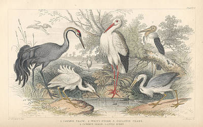 Herons Drawing - Cranes by Dreyer Wildlife Print Collections