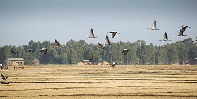 Photograph - Cranes Over Ethiopia by Alex Lapidus