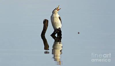 Cormorant Photograph - Cranky Cormorant by Bill Robinson