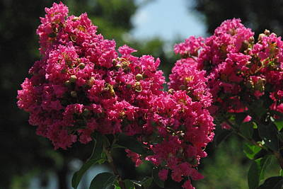Photograph - Crape Myrtle by Robyn Stacey