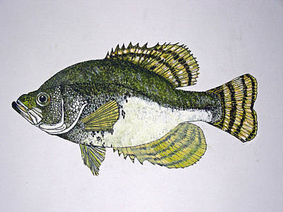 Crappie Fish Of Usa  Art Print by Don Seago