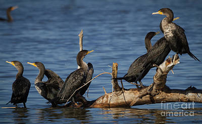 Photograph - Crazy Cormorant by David Cutts
