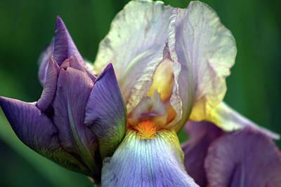 Cream And Purple Bearded Iris With Bud 0065 H_2 Art Print