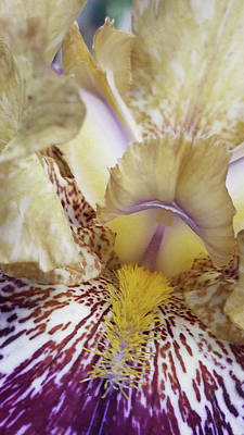 Photograph - Cream And Purple Iris by Caryl J Bohn