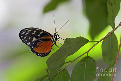 Photograph - Cream-spotted Tigerwing 2 by David Cutts