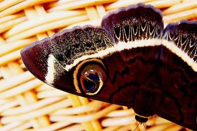 Photograph - Cream Striped Owl Moth by Dora Hathazi Mendes