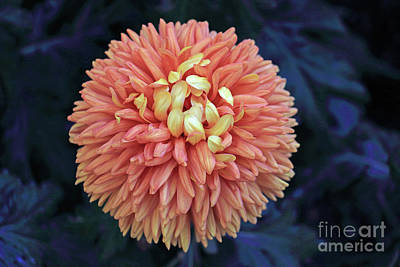 Photograph - Creamsicle Orange Mum by Mary Haber