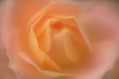 Photograph - Creamsicle Rose by Kathleen Clemons