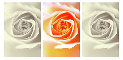 Photograph - Creamy Dreamy Roses Triptych by Jenny Rainbow
