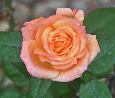 Photograph - Creamy Pink Rose by Jay Milo