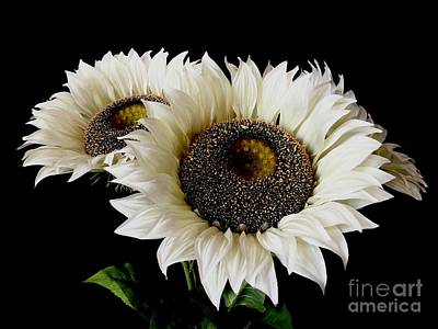 Photograph - Creamy Sunflowers by Jeannie Rhode