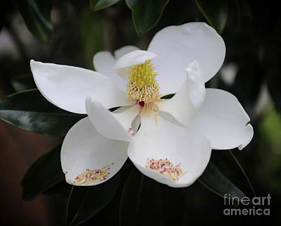 Photograph - Creamy Tight Buds by Dale Powell