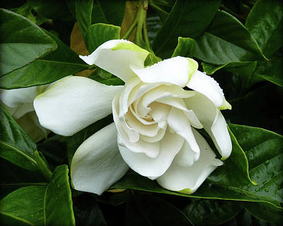 Photograph - Creamy White Gardenia by Carla Parris