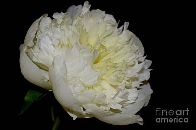 Photograph - Creamy White Peony by Jeannie Rhode