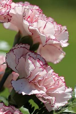 Photograph - Creamy White With Red Picotee Carnation by J McCombie