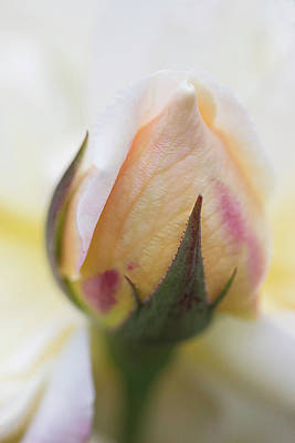 Photograph - Creamy Yellow Rosebud by Cindi Ressler