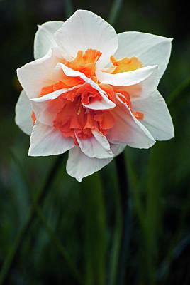 Photograph - Creative Daffodil by Elsa Marie Santoro