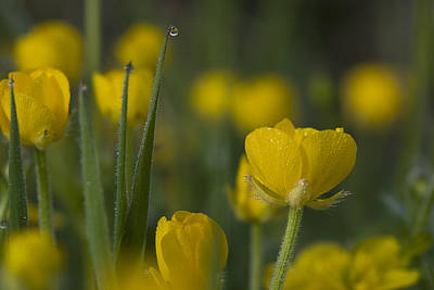 Photograph - Creeping Buttercup by Robert Potts