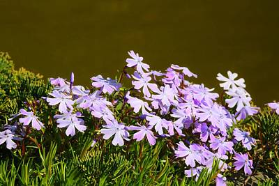 Photograph - Creeping Phlox By The Waterside by Kathryn Meyer