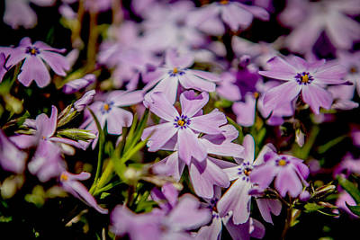 Photograph - Creeping Phlox by Pete Federico