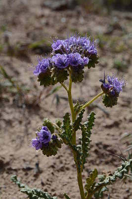 Photograph - Crenulate Phacelia Flower by Jenessa Rahn