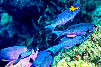 Photograph - Creole Wrasse And Little Spanish Hogfish by Perla Copernik