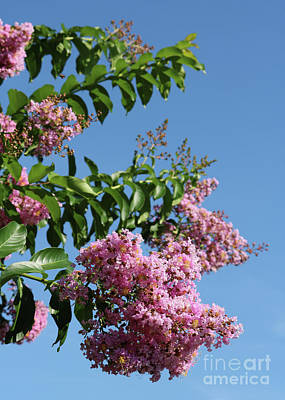 Photograph - Crepe Myrtle Against Blue Sky by Carol Groenen
