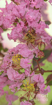 Photograph - Crepe Myrtle And Bee by Olga Hamilton