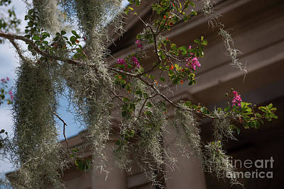 Photograph - Crepe Myrtle And Spanish Moss by Dale Powell