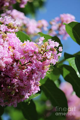 Photograph - Crepe Myrtle Days by Carol Groenen