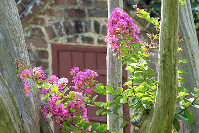 Photograph - Crepe Myrtle by Ed Waldrop