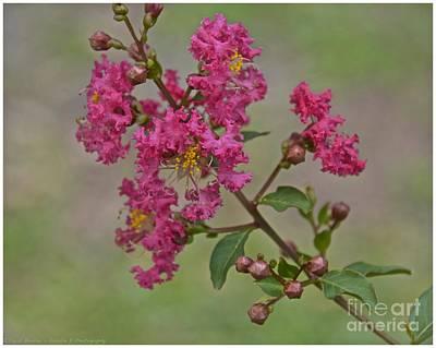 Photograph - Crepe Myrtle Flower by Carol  Bradley