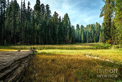 Crescent Meadows Sequoia Np Art Print