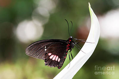Photograph - Crescent Swallowtail by Ruth Jolly