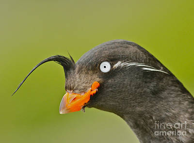 Crested Auklet Art Print by Desmond Dugan/FLPA