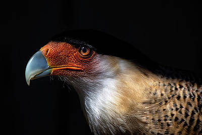 Photograph - Crested Caracara by Cyndy Doty