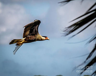 Photograph - Crested Caracara by Les Greenwood