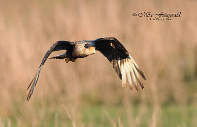 Photograph - Crested Caracara by Mike Fitzgerald