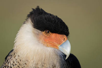 Photograph - Crested Caracara Portrait - Winged Ambassadors by Dawn Currie