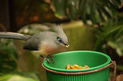Photograph - Crested Coua 1 by Chris Flees