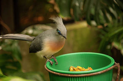 Photograph - Crested Coua 3 by Chris Flees