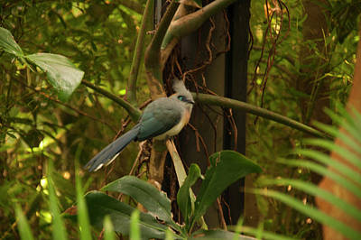Photograph - Crested Coua 4 by Chris Flees